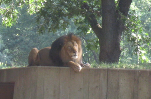 lion-at-zoo