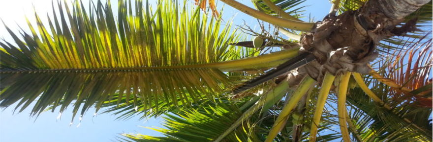 mexican-palm-tree