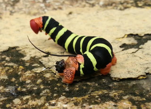 A friendly San Juan caterpillar.