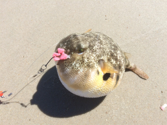 puffer-fish-beach
