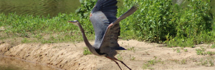great-blue-heron-featured