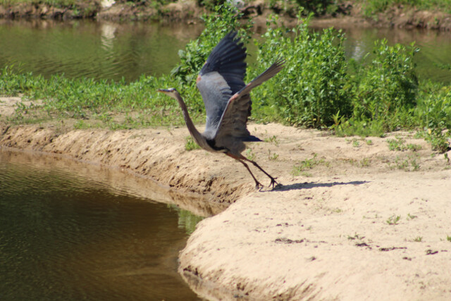 Great blue heron taking flight on our lake.