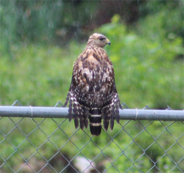 Problems with mice or snakes? Not with this hungry red shouldered hawk hanging out on our fence.