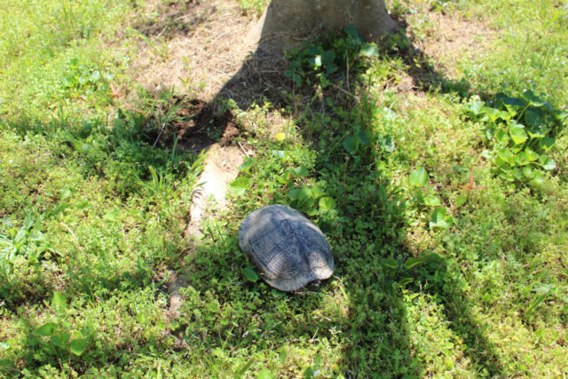 Turtle laying eggs in the backyard